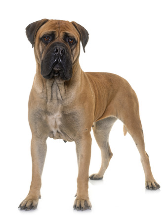 mastiff: bull mastiff in front of white background