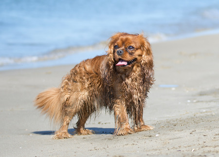 cavalier: cavalier king charles standing on the beach, in France Stock Photo