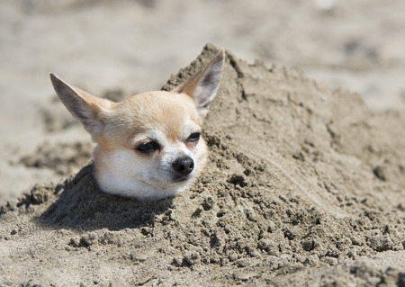 thalasso: chihuahua enterré dans le sable sur une plage