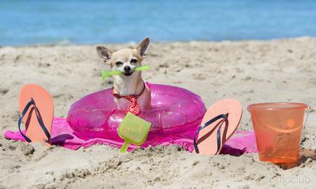 perros graciosos: Chihuahua pie en la playa, un poco con objeto en la boca