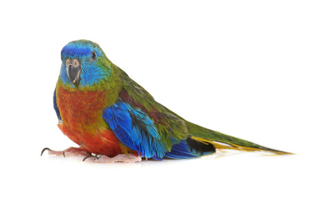 male animal: Turquoise parrot in front of white background Stock Photo