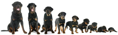 black dog: growth of puppy rottweiler in front of white background
