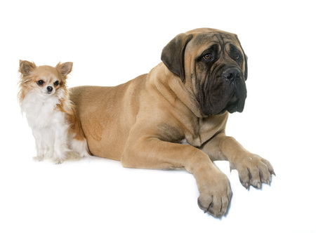 bullmastiff: young bull mastiff and chihuahua in front of white background