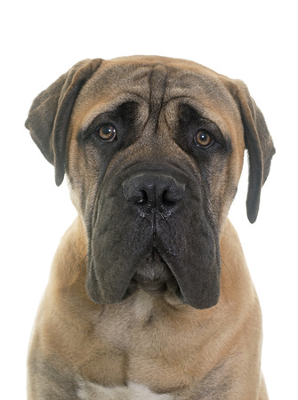 male animal: young bull mastiff in front of white background