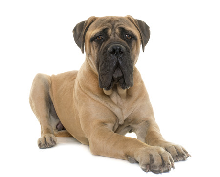mastiff: young bull mastiff in front of white background