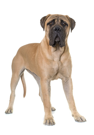 bullmastiff: young bull mastiff in front of white background
