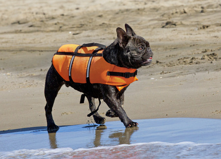 rescue: french bulldog with rescue jacket walking on the beach Stock Photo