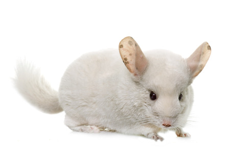 crepuscular: young chinchilla in front of white background
