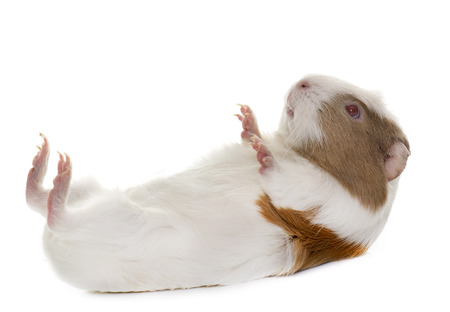 hairy back: guinea pig in front of white background