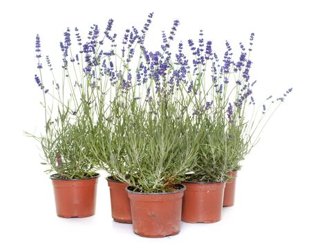 pots: blue lavender in front of white background