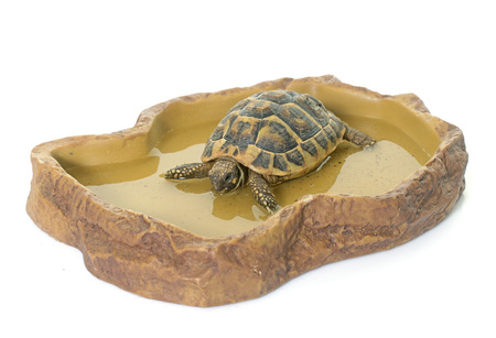 herman: turtle in watering hole in front of white background Stock Photo