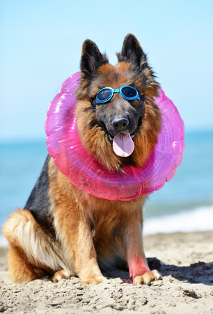rubber ring: german shepherd sitting on the beach with rubber ring Stock Photo