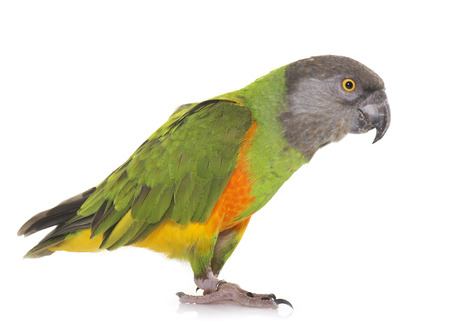 senegal: Senegal parrot in front of white background