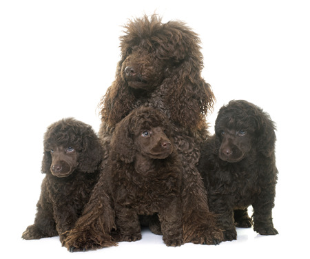 adult toys: puppies and mother poodles in front of white background