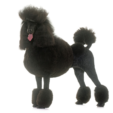 black hairs: standard poodle in front of white background