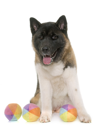 akita: american akita in front of white background