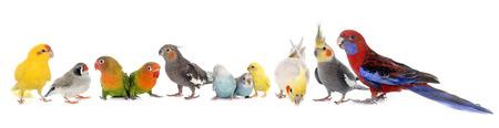 gemeenschappelijke huisdier parkiet, Afrikaanse grijze papegaai, dwergpapegaaien, Gestreepte vink en Cockatie lin voorkant van de witte achtergrond Stockfoto