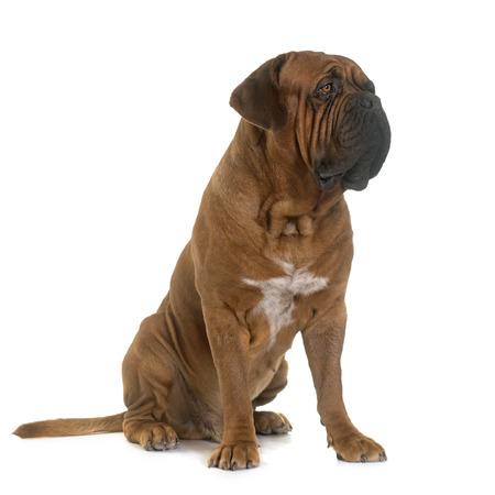 bordeaux mastiff: Bordeaux mastiff in front of white background