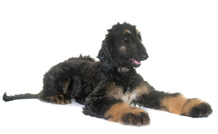 afghan: puppy afghan hound in front of white background