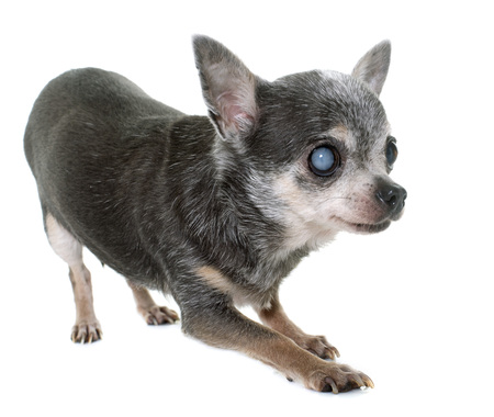 cataracts: old chihuahua with cataract in front of white background