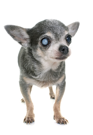 cataract: old chihuahua with cataract in front of white background