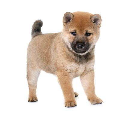 perrito: perrito de Shiba Inu delante de fondo blanco Foto de archivo