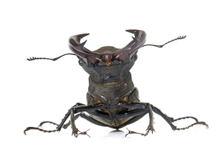 cervus: Lucanus cervus in front of white background
