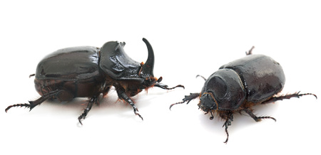 coleoptera: couple Oryctes nasicornis in front of white background