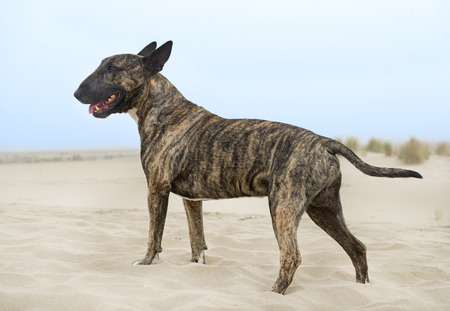 brown bull terrier staying on the beach in summer
