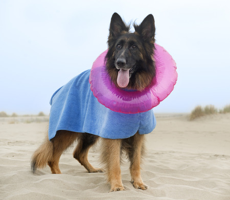 Robe: german shepherd with robe and rubber ring on the beach