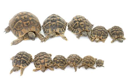 herman: Hermanns Tortoise and baby turtles in studio Stock Photo