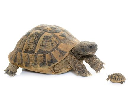 baby turtle: Hermanns Tortoise and baby turtle in studio
