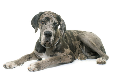 dane: Great Dane in front of white background Stock Photo