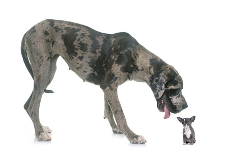 great dane: Great Dane and puppy chihuahua in front of white background