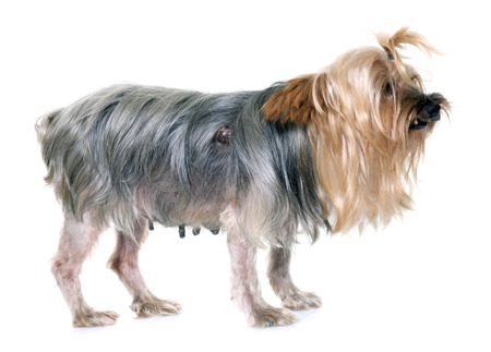 teat: old yorkshire terrier with tumour in front of white background