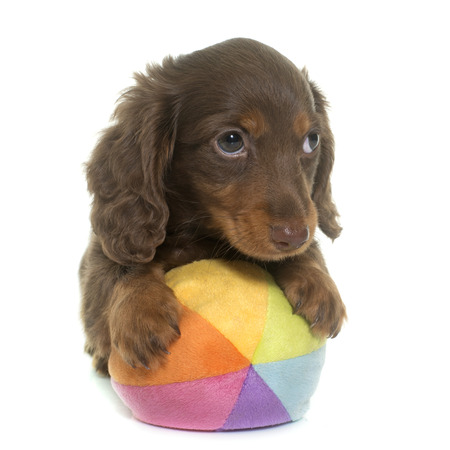 long haired: long hair dachshund in front of white background Stock Photo