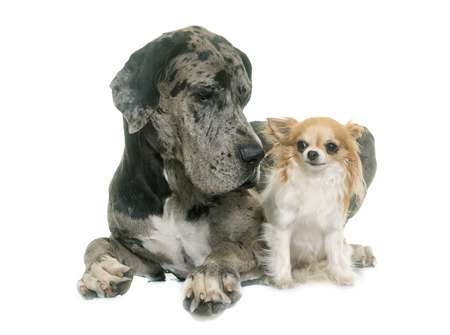 dane: Great Dane and chihuahua in front of white background