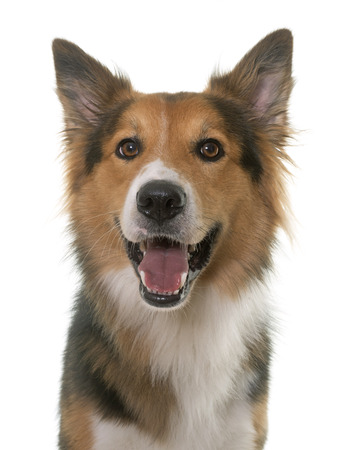border collie: border collie in front of white background Stock Photo