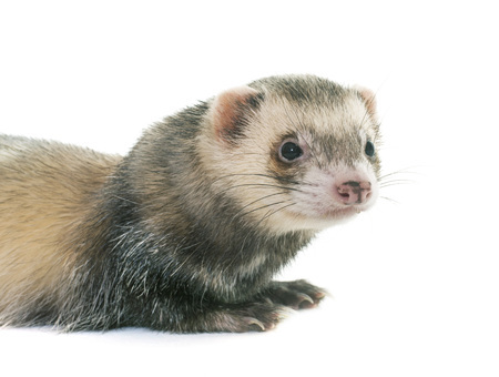 ferret: brown ferret in front of white background Stock Photo