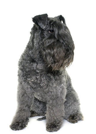 kerry blue terrier: kerry blue terrier in front of white background