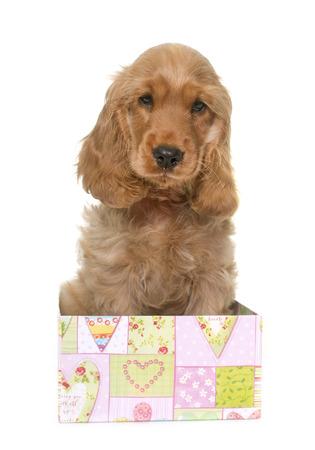 cocker spaniel: puppy cocker spaniel in front of white background
