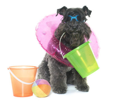 kerry blue terrier: kerry blue terrier and accessory in front of white background Stock Photo