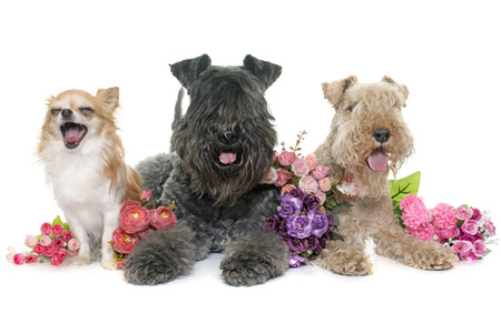 lakeland: kerry blue terrier, chihuahua and lakeland terrier in front of white background