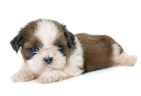 perrito: cachorro Shih Tzu delante de fondo blanco Foto de archivo
