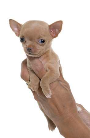 short hair dog: puppy chihuahua in front of white background