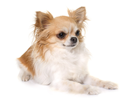 long hair chihuahua: purebred chihuahua in front of white background Stock Photo
