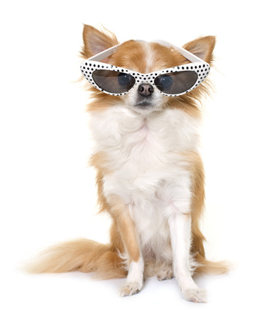 long hair chihuahua: purebred chihuahua and glasses in front of white background