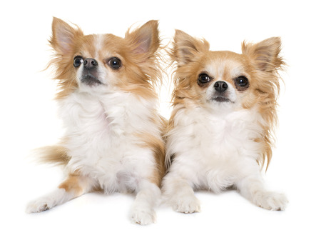 long hair chihuahua: purebred chihuahuas in front of white background
