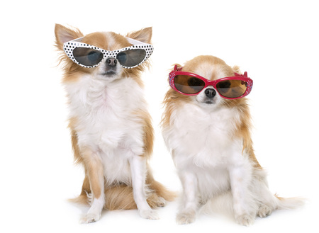 long hair chihuahua: purebred chihuahuas and glasses in front of white background
