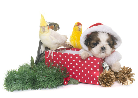 cockatiel standing on a box and puppy shih tzu in front of white background